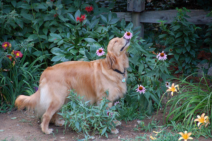 17 Adorable Animals Smelling Flowers - An adorable golden retriever taking time out to smell the flowers.