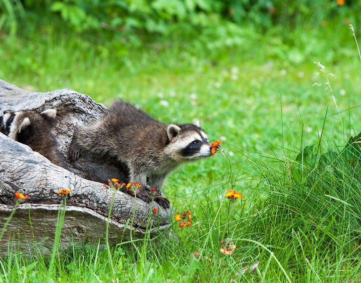 17 Adorable Animals Smelling Flowers - Raccoon taking time to smell the flowers.