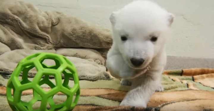 2-month-old Female Polar Bear Cub Takes Her First Steps at Toronto Zoo.