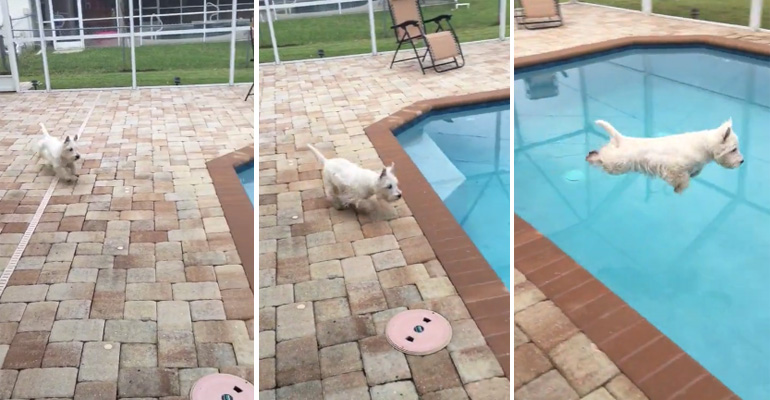 Christy the Westie Shows off Her Perfect Pool Diving Technique.