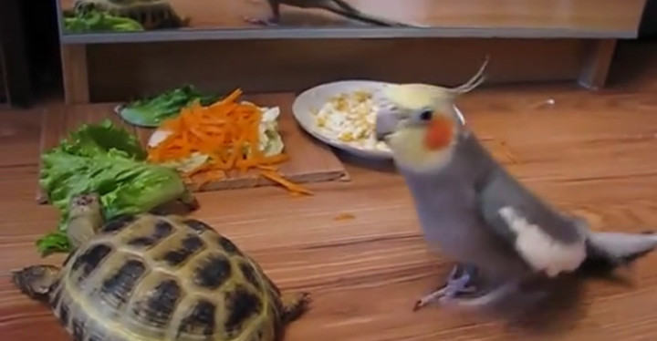 Parrot Goes Nuts After Seeing Turtle's Reflection in Mirror.