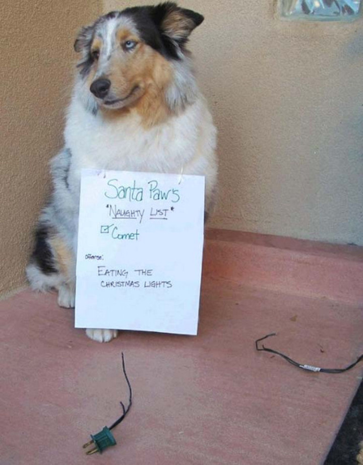 22 Dogs Being Shamed for Their Cute Crimes - Comet is on Santa Paws naughty dog shaming list!