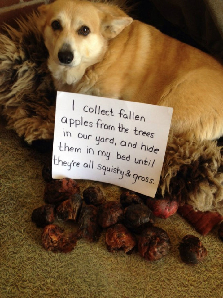 22 Dogs Being Shamed for Their Cute Crimes - An apple a day...
