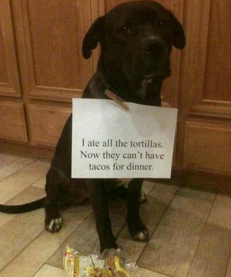 22 Dogs Being Shamed for Their Cute Crimes - No tacos tonight.