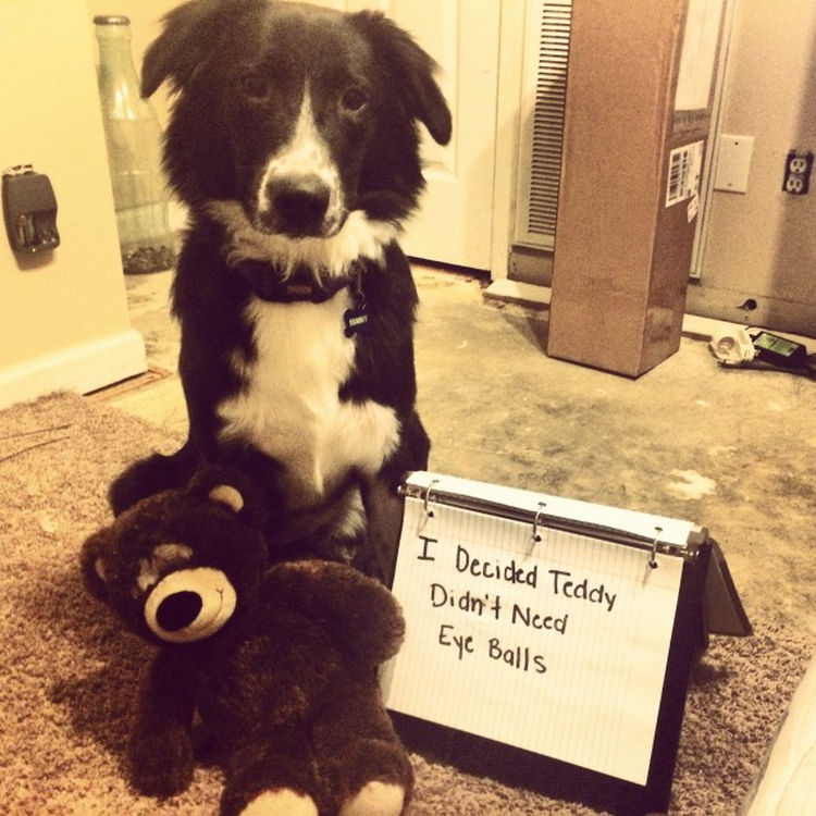 22 Dogs Being Shamed for Their Cute Crimes - Poor Teddy!