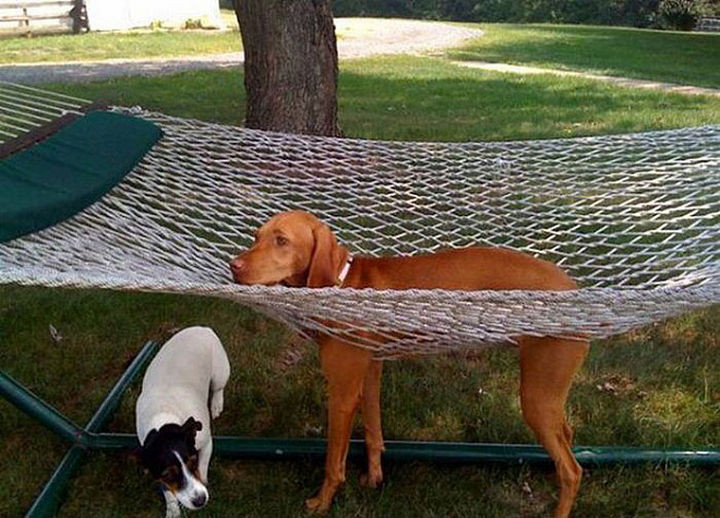 35 Photos of Animals Stuck in the Weirdest Places - Hammocks don't make great beds for dogs.
