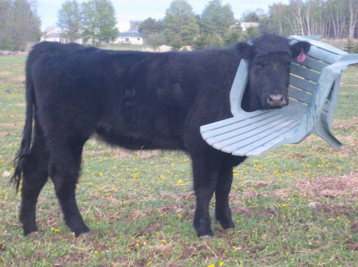 35 Photos of Animals Stuck in the Weirdest Places - There is where that missing chair went...