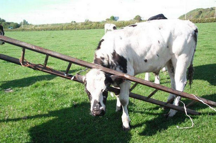35 Photos of Animals Stuck in the Weirdest Places - Just another day on the farm.