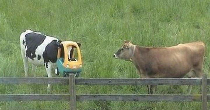 """35 Photos of Animals Stuck in the Weirdest Places - I wonder if the other cow is thinking, """"Where could I get one of those?"""""""