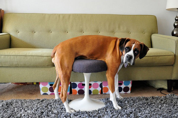 35 Photos of Animals Stuck in the Weirdest Places - He thinks it's a massage table.
