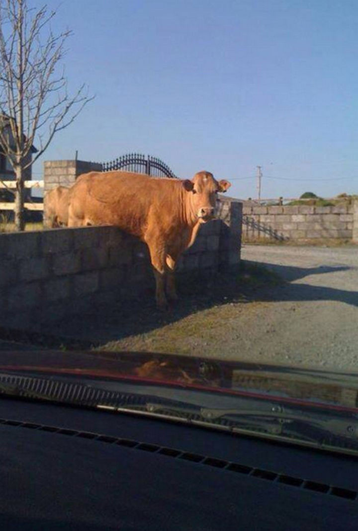 35 Photos of Animals Stuck in the Weirdest Places - I think this cow was trying to jump over the moon and missed.