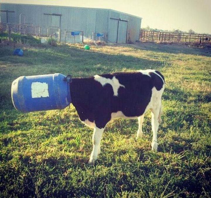 35 Photos of Animals Stuck in the Weirdest Places - I think she'll regret her decision to eat directly out of the barrel.