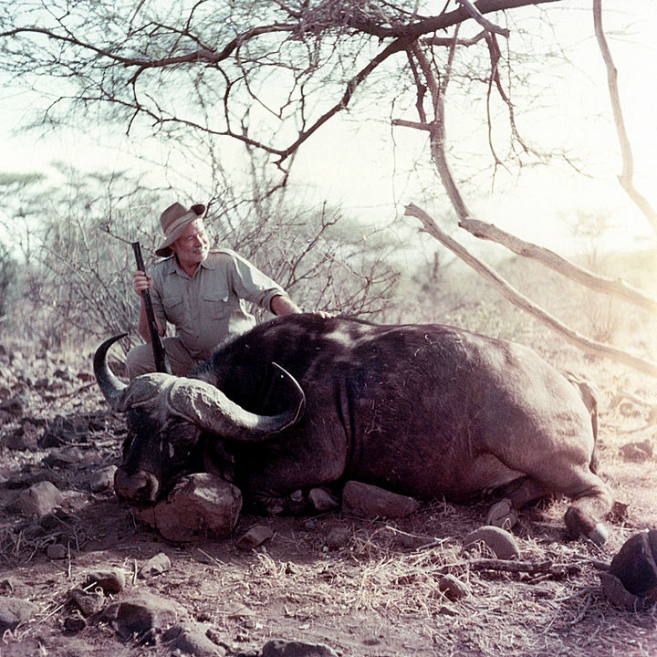 35 Rare Historical Photos - 1953: American novelist Ernest Hemingway posing with a cape buffalo on a visit to Africa.