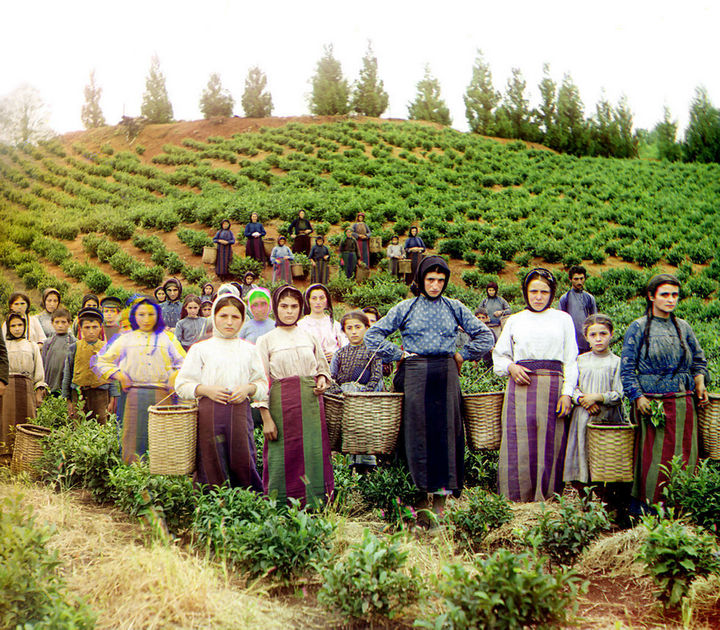 35 Rare Historical Photos - 1910: Colorized photo of Greek women and children harvesting tea in Chakva, Georgia.