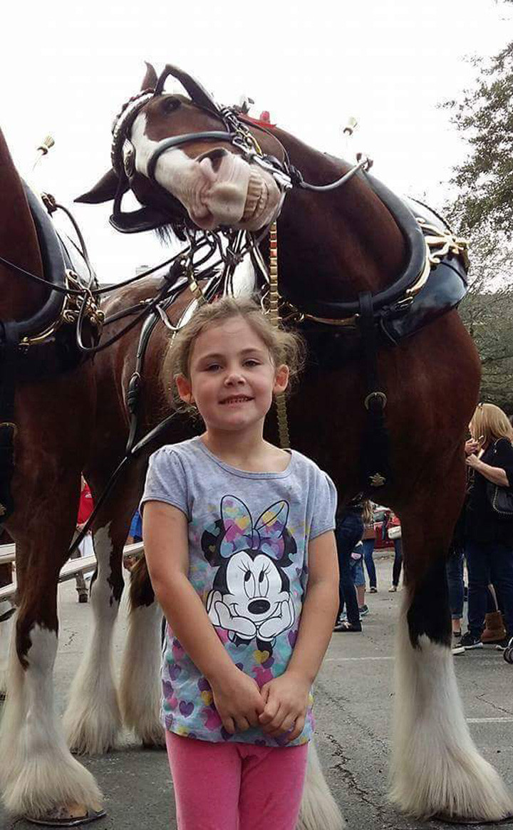 A Clydesdale Photobombs Photo with Little Girl.