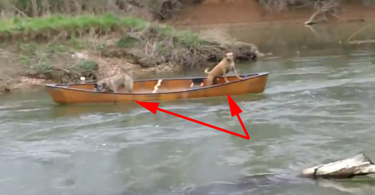 Brave Labrador Rescues Dogs Trapped in a Canoe on a River.