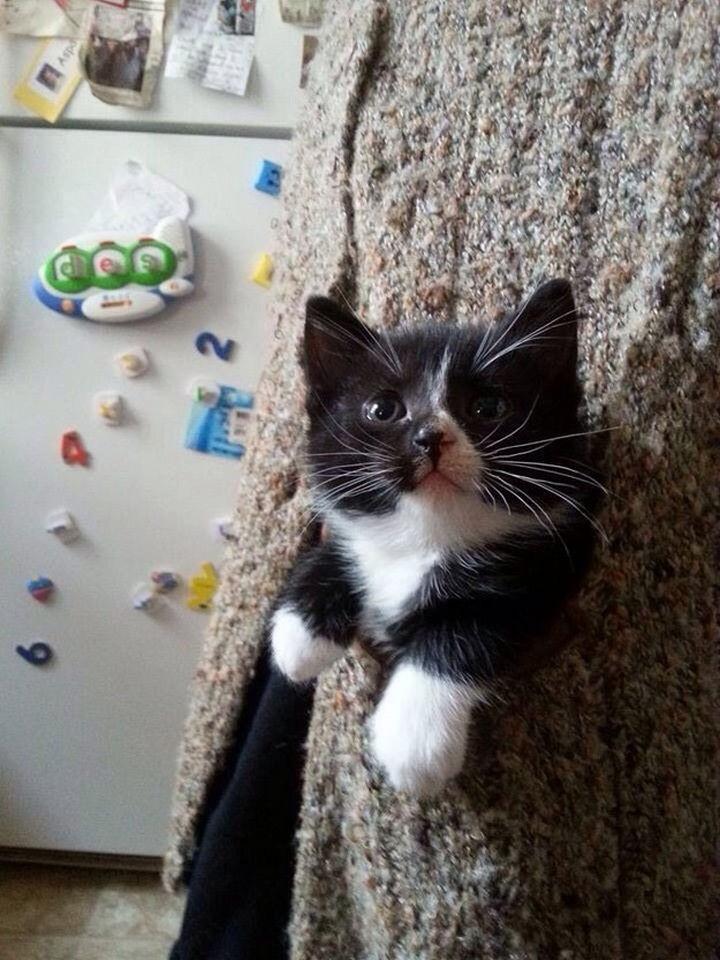 46 Happy Images - This pocket kitten enjoying a walk.
