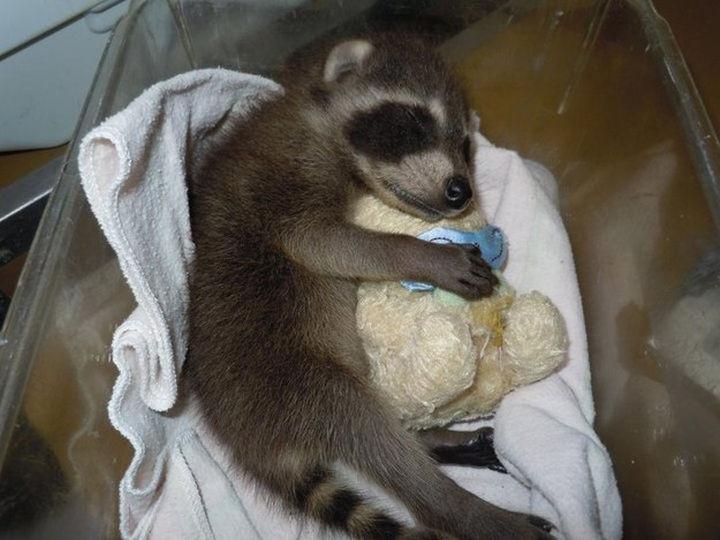 46 Happy Images - A cute baby raccoon hugging his teddy bear while he sleeps.