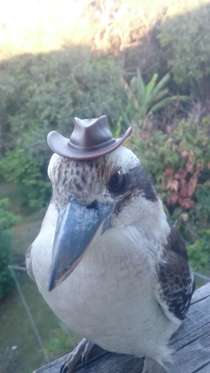 46 Happy Images - This kookaburra going country and loving it.