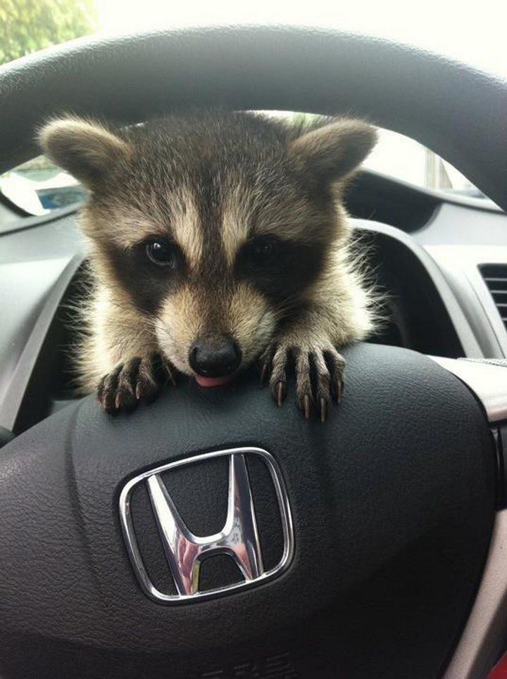 46 Happy Images - This baby raccoon watching you drive.