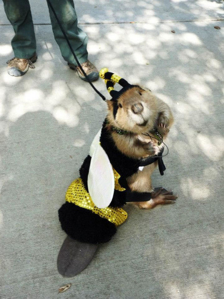 46 Happy Images - This beaver going out for Halloween as a bee.