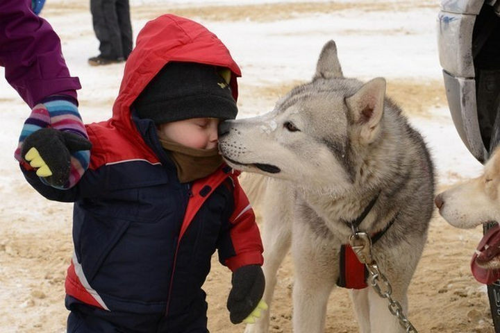 46 Happy Images - This gorgeous Siberian Husky giving tender kisses.
