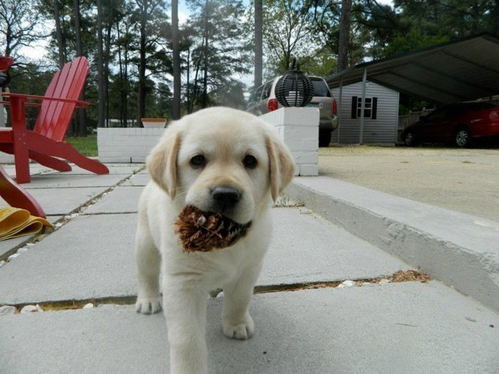 46 Happy Images - This adorable puppy bringing home a pine cone.