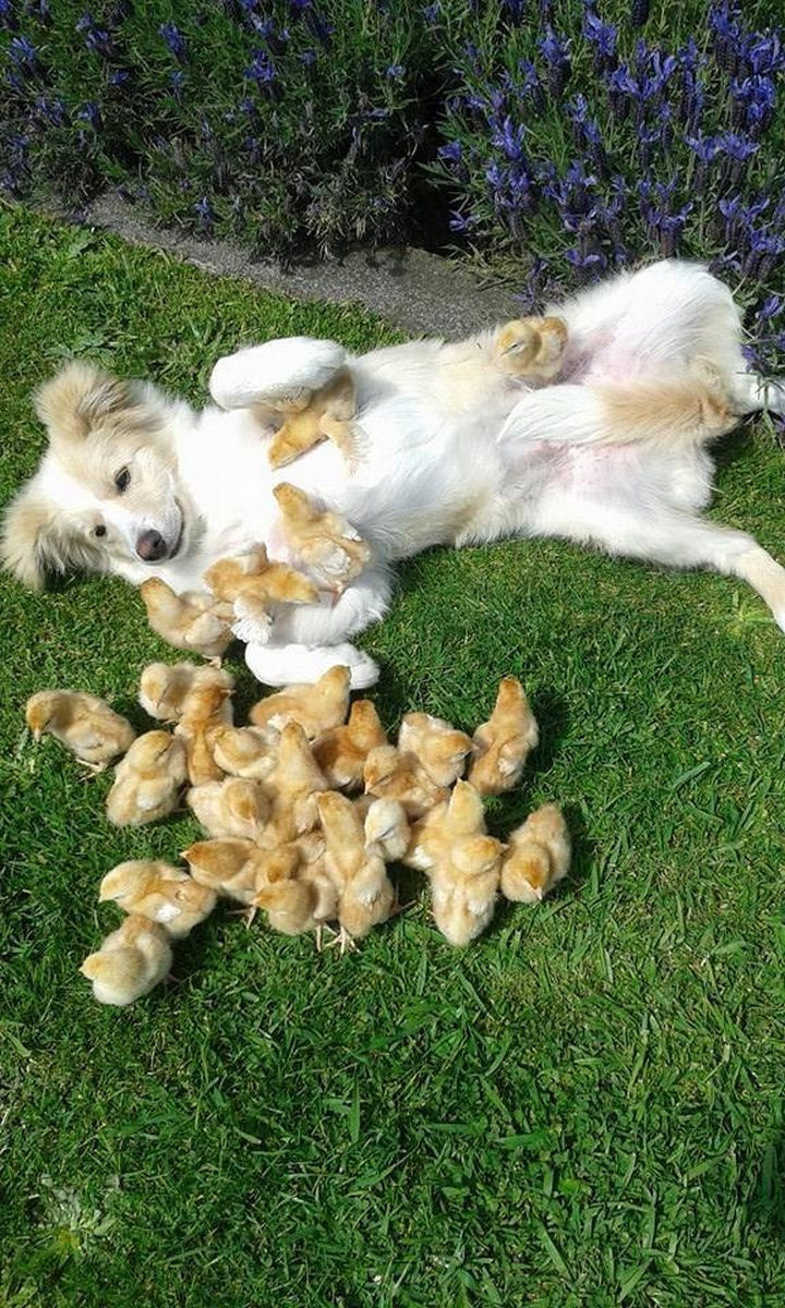 46 Happy Images - These baby chicks playing with their new furry friend.