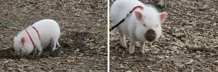 46 Happy Images - This adorable piglet digging like it's nobody's business.