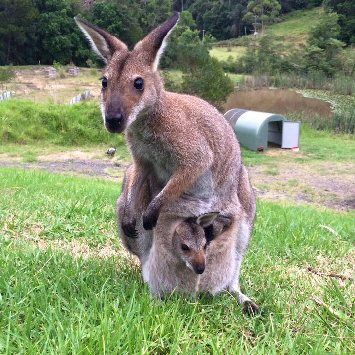 46 Happy Images - This kangaroo mother carrying her little joey.