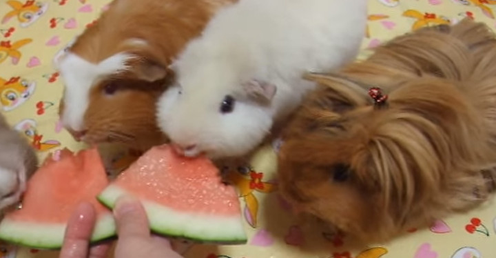 Guinea Pigs Eating Watermelon Is Cuteness Overload.