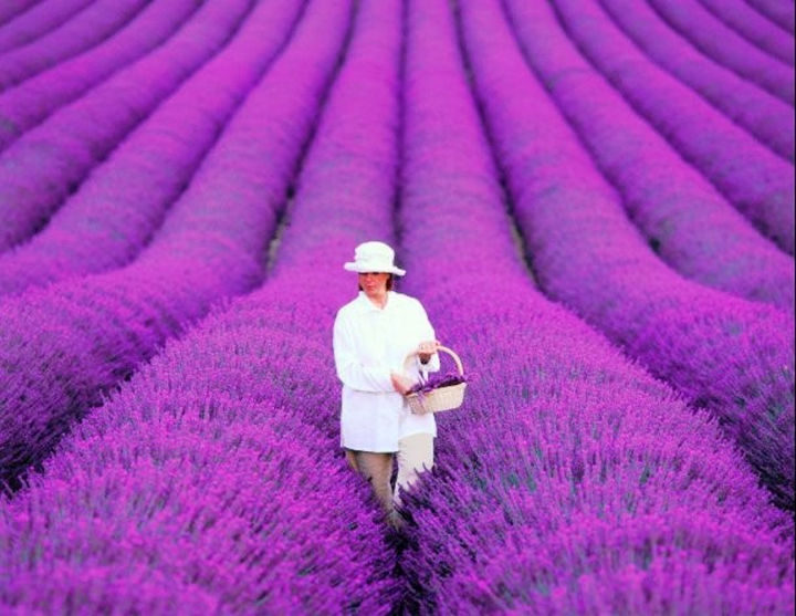 10 Amazing Nature Pictures - Lavender fields in Provence, France look incredible and are filled with color.