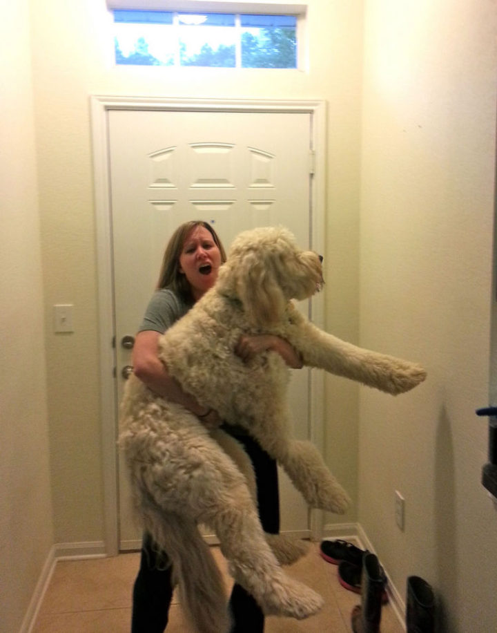 "12 Huge Dogs That Still Think They Are Puppies - ""Just threw my back out trying to hold my 90lb goldendoodle like a baby..."""