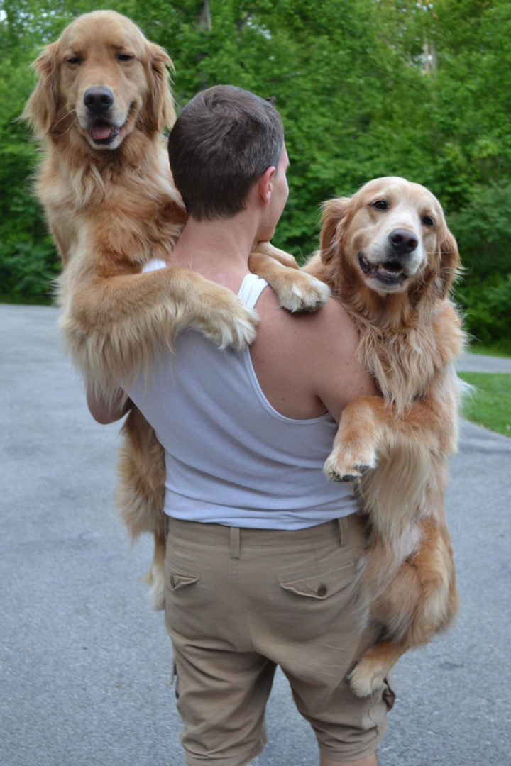 12 Huge Dogs That Still Think They Are Puppies - Two golden babies :)
