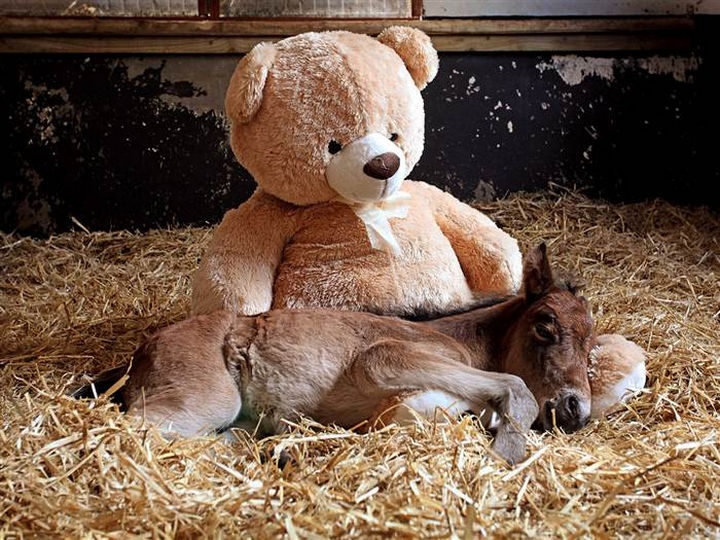 Abandoned Newborn Foal Finds Comfort with a Teddy Bear. Breeze the newborn foal was found abandoned by his mother only days after being born.