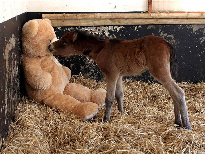 After being rescued by the Mare and Foal Sanctuary, they placed a huge teddy bear in with him and Breeze the newborn foal quickly warmed up to him.