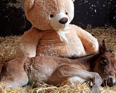 Abandoned Newborn Foal Finds Comfort with a Teddy Bear.