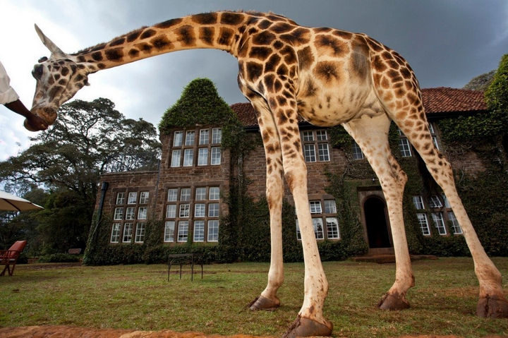 The opportunity to live among these gentle giants at Giraffe Manor is an experience you will never forget.