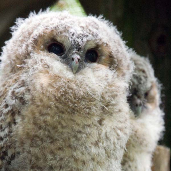 25 Super Cute Fluffballs - Owls don't get fluffier than this.