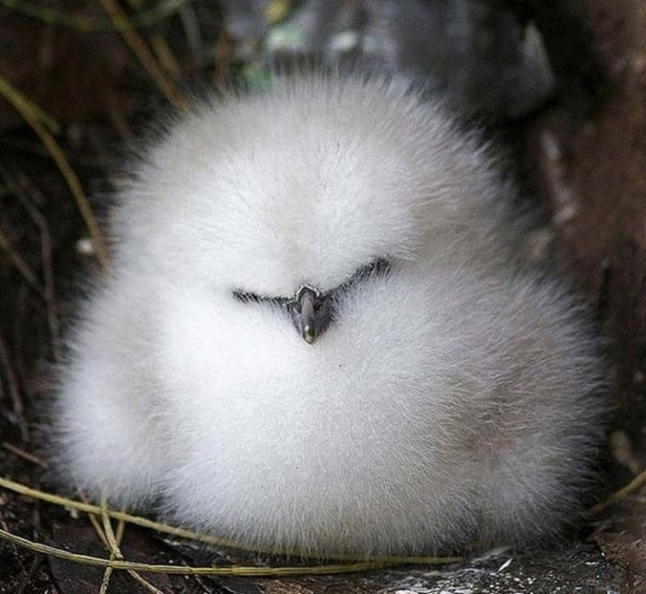 25 Super Cute Fluffballs - This fluffy bird adorably looks like a cotton ball!