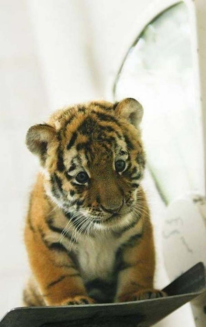 25 Super Cute Fluffballs - Tiger cubs are fluffy and look at those paws!