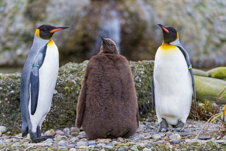 25 Super Cute Fluffballs - Now, that is one fluffy penguin...