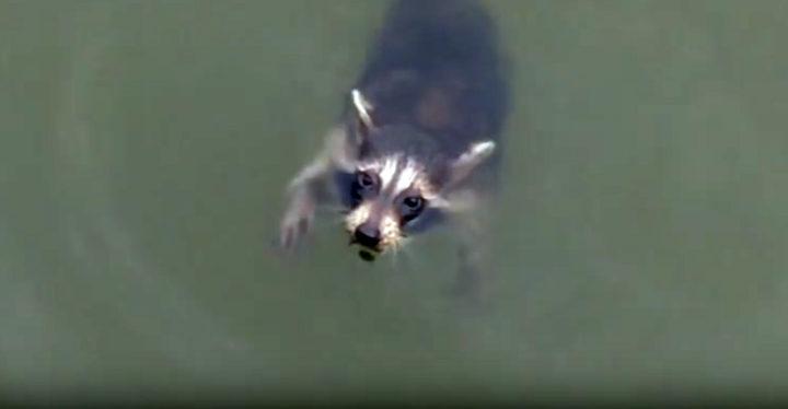 Boaters Rescue a Helpless Raccoon in Swann Creek.