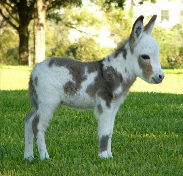 Mini donkeys are adorable and they are real!