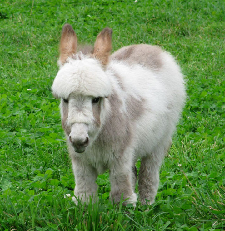 Miniature donkeys are originally from North Africa, along the Mediterranean coast.