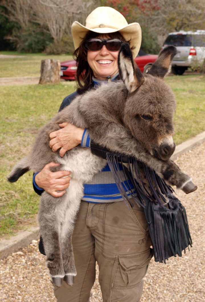 Donkeys are hard workers and so are miniature donkeys but these little guys are meant for play.