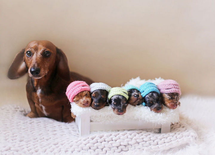 Proud Sausage Dog Poses for Maternity Photoshoot With Her Little Sausages.