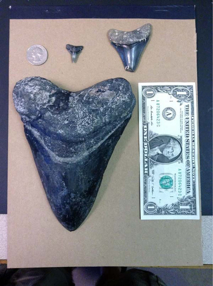 A scuba diver was diving off the west coast of Venice Beach, California, and found a fossilized tooth belonging to a Megalodon shark.