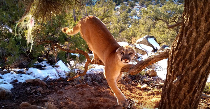 Trapped Cougar Released From Trap by Utah Conservation Officers.