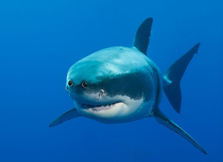 This great white shark actually looks friendly with eyes on the front of his head.